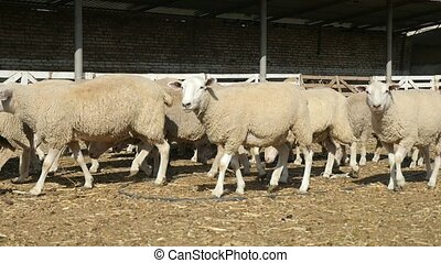 A white sheep herd going along a farm fence on a sunny day...