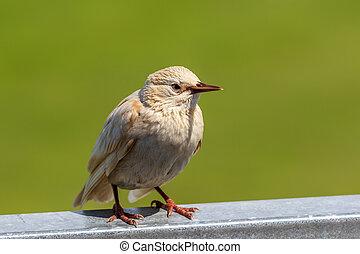 A white Starling Sturnus vulgaris
