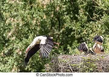 A white stork flies away from the nest looking for food for its young