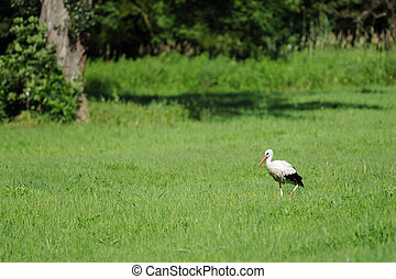 A white stork in the bird reservation area Marchegg