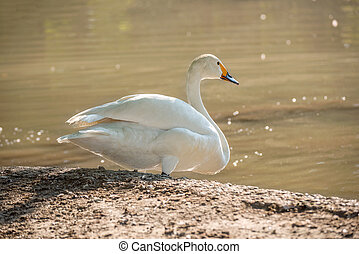 a white swan on the shore