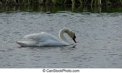 A white swan shakes its head on a lake surface in slo-mo