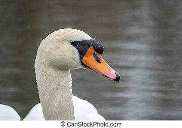 a white swan swimming on a lake