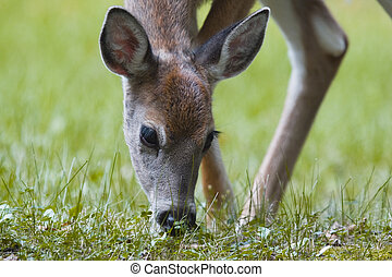 fawn - a white tailed deer fawn grazing on some grass
