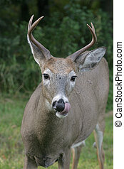 deer - a white tailed deer licking its\\\' nose