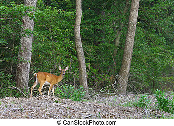 A white-tailed deer (Odocoileus virginianus), also known as the Virginia deer or simply as the whitetail outside in it's habitat in nature on a summer day