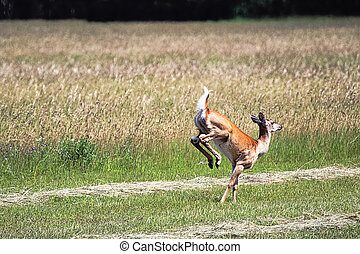 A white-tailed deer running away in a field