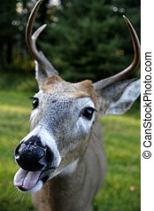 a white tailed deer with his tongue sticking out
