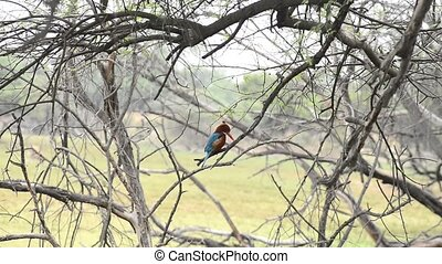A White-throated Kingfisher waiting fish in the Keolado...