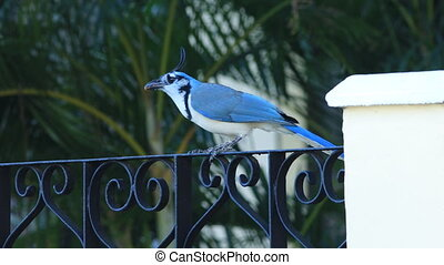 White-Throated Magpie-Jay, Calocitta formosa, from Costa...