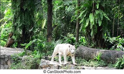 a white tiger prowling along a ridge