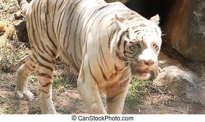 A white tiger walking prowling along a ridge,camera follows,...