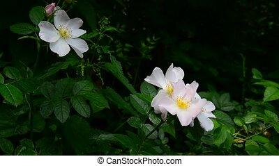 White wild rose flowers in spring