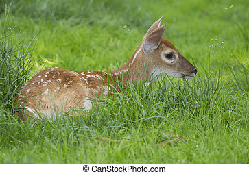 A Whitetail Deer Fawn in the grass