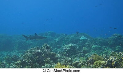 A Whitetip reef shark swims over a coral reef