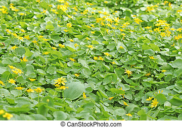 A whole field of spring yellow flowers