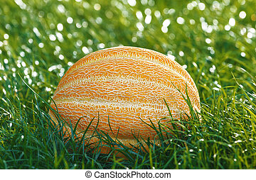 A whole melon lies on the green grass.