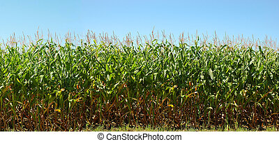 A wide view of corn field in Illinois land