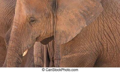 A Wild African Elephants