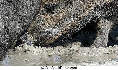 A wild boar with piglets drink water on sandy coast in slo-mo
