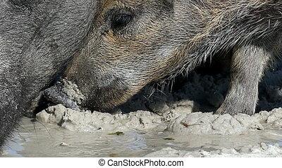 A wild boar with piglets drink water on sandy coast in slo-...