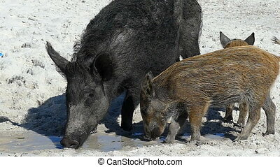 A wild boar with piglets eat some food on sandy coast in slo-mo