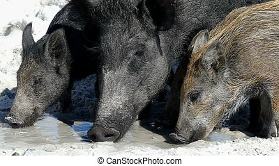 A wild boar with piglets seek food n sandy eacoast in slo-mo