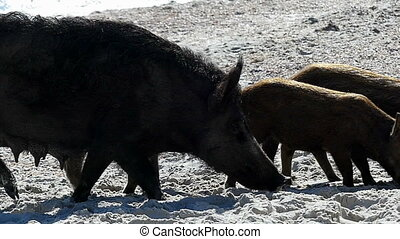 A wild boar with piglets walk on sandy eacoast in slo-mo