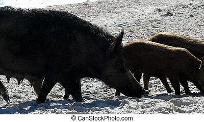 A wild boar with piglets walk on sandy eacoast in slo-mo