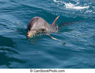 A wild bottlenose dolphin (Turisops Truncatus) looking ...