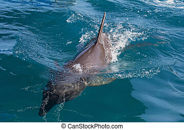 A wild bottlenose dolphin (Turisops Truncatus) surfacing in ...
