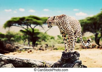 A wild cheetah about to attack. Safari in Serengeti, Tanzania, Africa.
