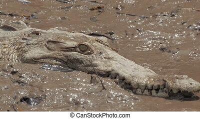 A wild crocodile on the muddy banks of a Costa Rica river -...