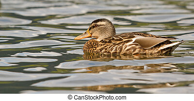 A wild duck in the water