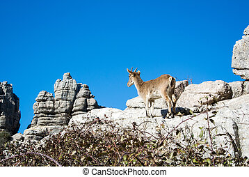 A wild goat at natural park El Torcal de Antequera in Malaga province, Spain.
