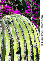 Wild Golden barrel cactuses