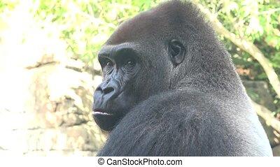 A Wild Gorilla