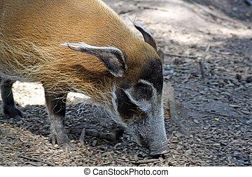 a large wild hog