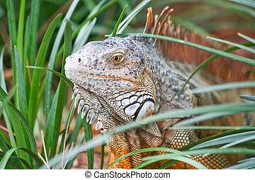 A wild iguana wandered around in a garden in Florida