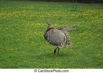 Lesser Rhea - Rhea pennata - A Wild Lesser Rhea - Rhea ...
