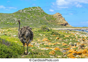 Cape of Good Hope - A Wild Ostrich at the Cape of Good Hope,...
