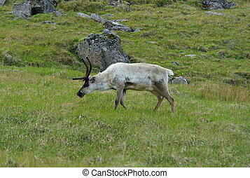 A wild reindeer eating grass near East Fjords, Iceland during the summer