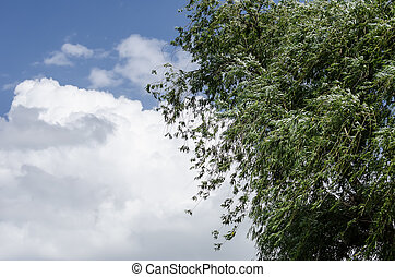 A willow and the blue sky