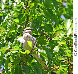A wind blown Northern Mockingbird sitting in an ornamental pear tree during the summer with plenty of room for your text