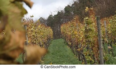 vineyard - a windy day in the vineyard