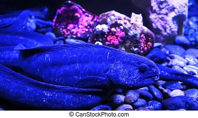 A Wolf Eel close up view