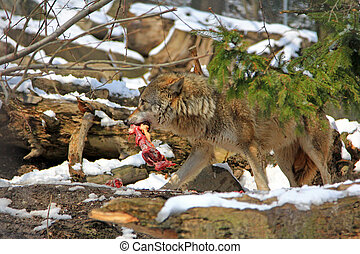 A Wolf holds meat in the mouth