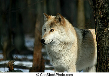 Wolf in the woods