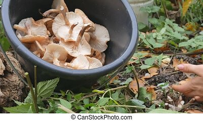 A woman cuts with a knife mushrooms in the autumn forest and...