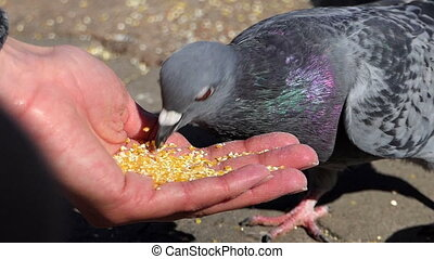 A woman feeds grey doves with grain on a sunny day in slo-mo